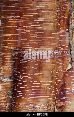 Betula Albosinensis 'Red Panda'. Chinese red birch tree bark - Stock Photo