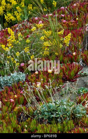 Plant and wildflowers on sand dunes at the Samoa Dunes, near Eureka, Humboldt County, California - Stock Photo