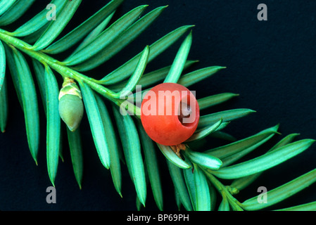 Elliptical seed, male flower Pacific Yew branch. - Stock Photo