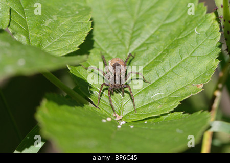 Pardosa sp., a female wolf spider with her cocoon full of eggs - Stock Photo