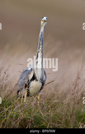 Grey Heron, Ardea cinerea, fishing - Stock Photo
