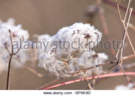 Old mans beard, Clematis Vitalba Travellers Joy seed heads - Stock Photo