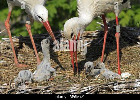European White Stork (Ciconia ciconia). Parents feeding chicks in nest. - Stock Photo