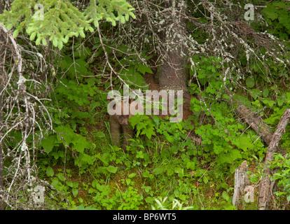 Grizzly Bear, Ursus arctos horribilis, cub in woodland; Waterton NP, Rockies, Canada - Stock Photo