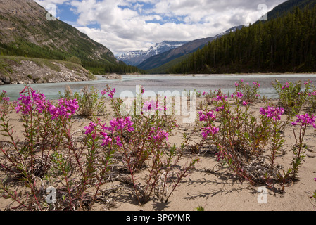 Broad-leaved Willowherb, or Fireweed, Epilobium latifolium, on North Saskatchewan River, Canada - Stock Photo