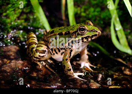 Greek March Frog (Pelophylax kurtmuelleri, Rana kurtmuelleri, Rana balcanica  ), sitting on moss, Greece, Peloponnes - Stock Photo