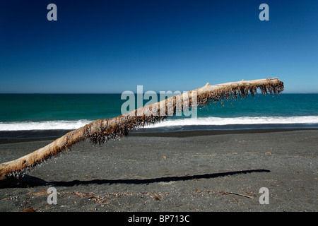 Dead sea shells hanging onto dead seaweed on a large piece of driftwood on Napier Beach, New Zealand - Stock Photo