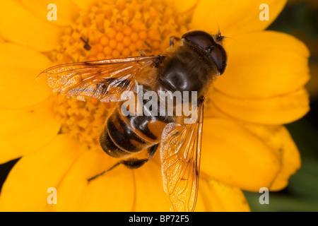 Drone fly, Eristalis tenax on corn marigold flower, wildlife garden, Dorset. - Stock Photo
