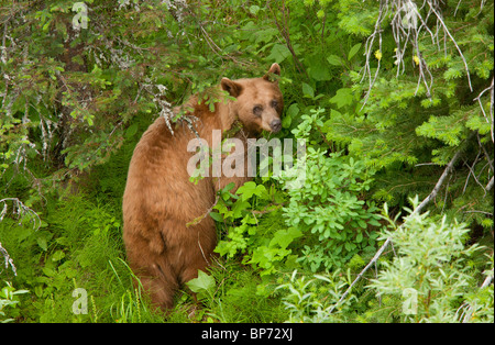 Grizzly Bear, Ursus arctos horribilis, female in woodland, Waterton NP, Rockies, Canada - Stock Photo