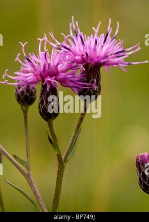 Saw-wort, Serratula tinctoria in flower - Stock Photo