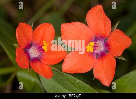 Scarlet Pimpernel Anagallis arvensis ssp. arvensis flowers; used as weather forecaster. Dorset. - Stock Photo