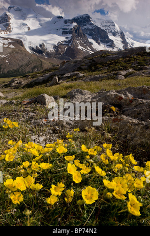 Snow-Cinquefoil, Potentilla nivea growing abundantly at high altitude, Wilcox Pass, Jasper NP, Rockies, Canada - Stock Photo