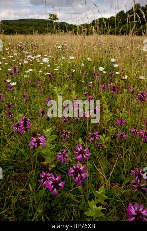Masses of Betony, with ox-eye daisies, in meadow, Powerstock Common, Dorset. - Stock Photo