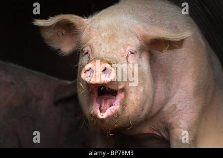 yawning Hybrid large white sow portrait - Stock Photo