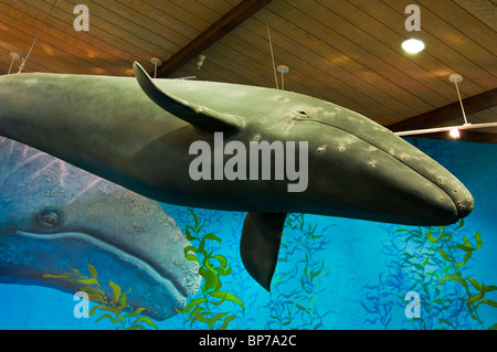 Model of grey whale hanging from ceiling at Point Vicente Interpretive Center, Palos Verdes Peninsula, California - Stock Photo