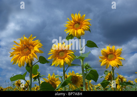 Sunflowers in full bloom planted on the edge of cereal crops to encourage wildlife - Stock Photo