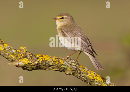 Willow Warbler on a Lichen covered branch. - Stock Photo