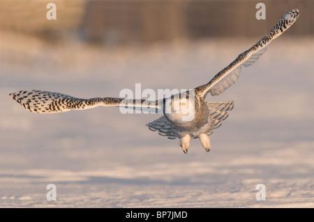 Snowy Owl (Bubo scandiacus, Nyctea scandiaca) in flight above snow. - Stock Photo