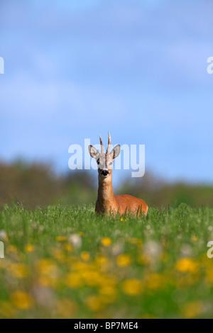 Roe Deer buck (Capreolus capreolus) in meadow in spring, Germany - Stock Photo