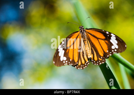 Colorful butterfly take a rest on grass (Salatura genutia) - Stock Photo