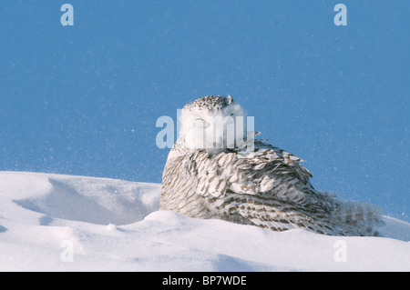Snowy Owl (Bubo scandiacus, Nyctea scandiaca) resting in snow with eyes closed. - Stock Photo