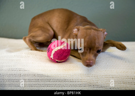 Portrait of a Mexican hairless chihuahua dog playing with a tennis ball. the dog is up for adoption from a Humane - Stock Photo
