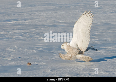 Snowy Owl (Bubo scandiacus, Nyctea scandiaca), adult about to catch a mouse. - Stock Photo