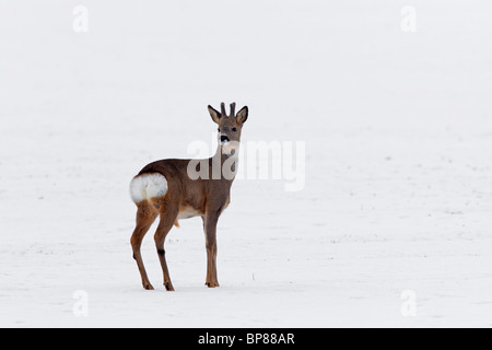 Roe deer buck (Capreolus capreolus) looking backwards and showing white rump patch in field in winter in the snow, Germany