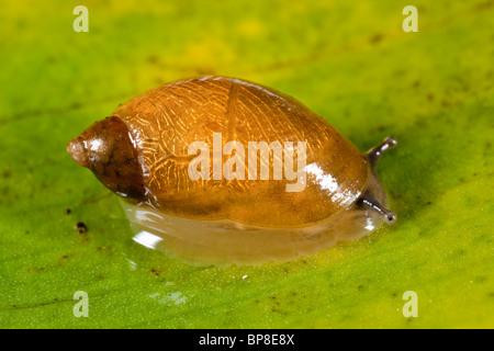 A small amphibious snail, Succinea pfeifferi, Arthog Bog, North Wales - Stock Photo