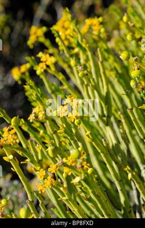 Euphorbia mauretanica, Gifmelkbos, Namaqualand, South Africa - Stock Photo