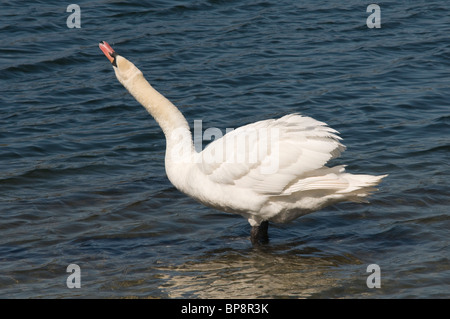 Mute Swan Cygnus Olor stretching its neck - Stock Photo