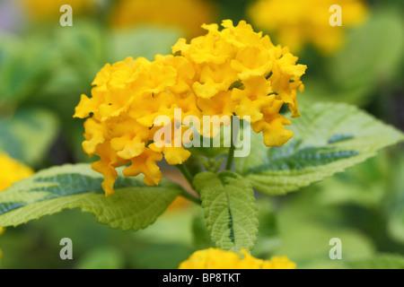 Lantana camara yellow flowers close up - Stock Photo