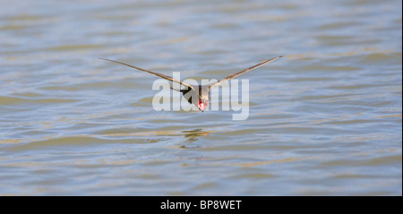 Common Swift Apus apus flying very low over water with mouth wide open ready to drink - Stock Photo