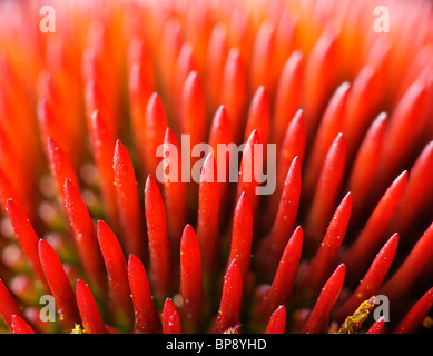 Echinacea purpurea (Eastern purple coneflower or Purple coneflower) - Stock Photo