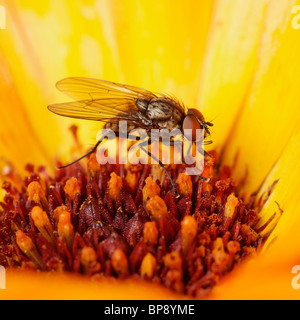 Fly on a Marigold flower. - Stock Photo
