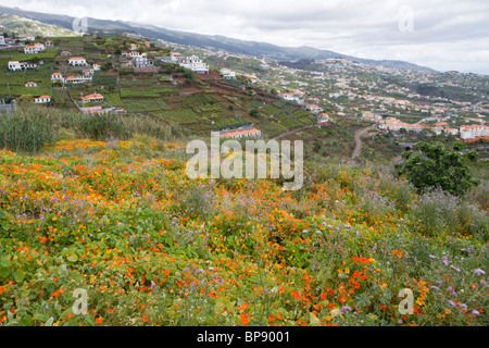 Magnificent nasturtium field, Estreito de Camara de Lobos, Madeira, Portugal - Stock Photo