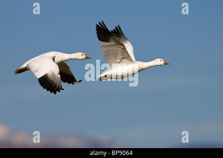 Snow Geese in flight, Anser caerulescens atlanticus, Chen caerulescens, Bosque del Apache Wildlife Refuge, New Mexico, - Stock Photo