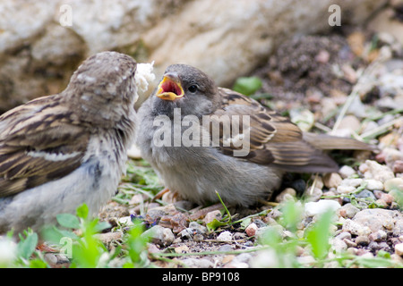 A newly fledged chick in Russia. Passer domesticus, House Sparrow - Stock Photo