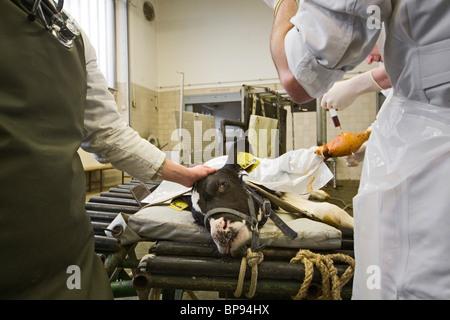 Veterinary surgeons operate on a calf, University of Veterinary Medicine, TiHo, Hanover, Lower Saxony, Germany - Stock Photo