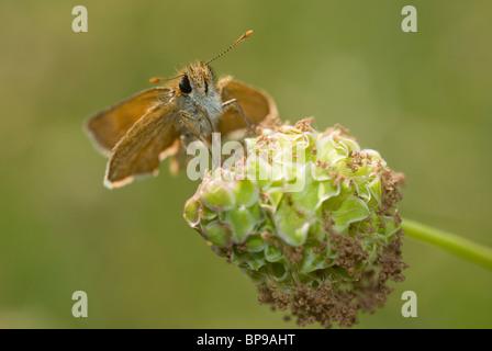 Lulworth Skipper (Thymelicus acteon) - Stock Photo