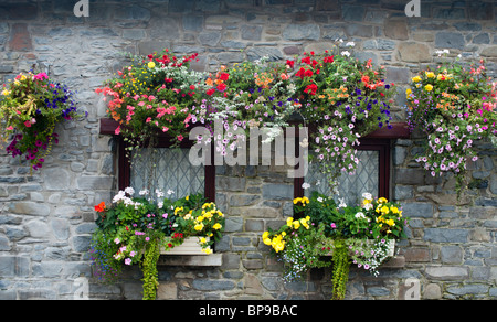 hanging baskets and window boxes on a small cottage in new quay west wales - Stock Photo