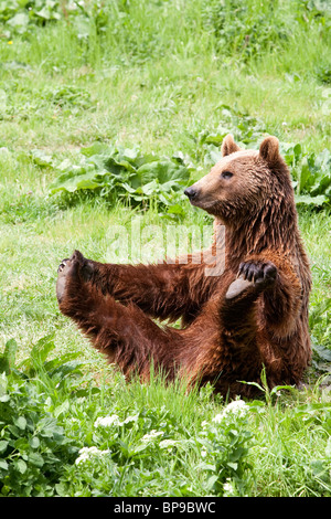 Female Brown Bear Doing She Body Building Exercise Stock Photo