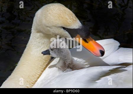 cygnet mother baby mute swan cute bird Cygnus olor - Stock Photo