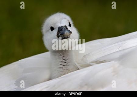 cygnet baby mute swan cute bird Cygnus olor - Stock Photo