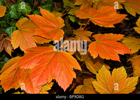 sycamore maple leaves autumn colours Stock Photo