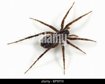 A female Wolf spider (Pardosa monticola) on white background. Wolf spiders are part of the family Lycosidae. - Stock Photo