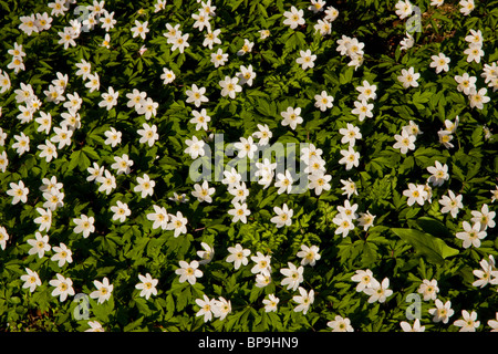 Wood Anemone Anemone nemorosa - Stock Photo