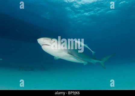 Tiger Shark of the Bahamas - Stock Photo