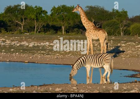 A plains (Burchell's) zebra and giraffe at a waterhole, Etosha National Park, Namibia, southern Africa - Stock Photo