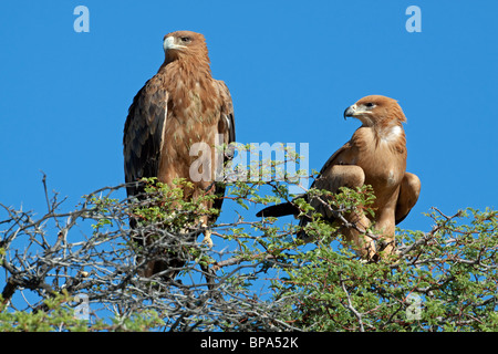 Pair of tawny eagles (Aquila rapax) perched on top of a tree, Kgalagadi Transfrontier Park, South Africa - Stock Photo